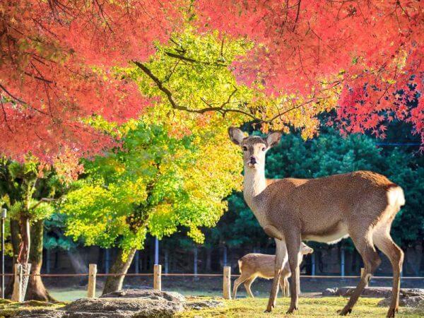 Viajes a Japón - Que ver en Japón - Nara Parque de los ciervos