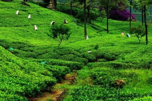 Que ver en Sri Lanka - Nuwara Eliya Campos de te