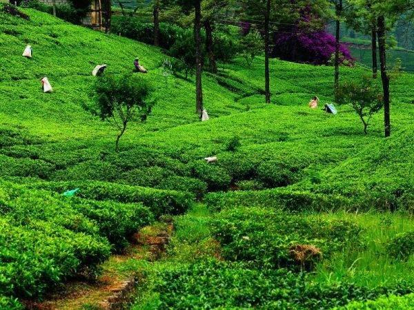 Viajes a Sri Lanka - Que ver en Sri Lanka - Nuwara Eliya - Campos de te