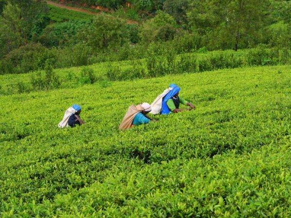 viaje sri lanka y maldivas - plantaciones de te