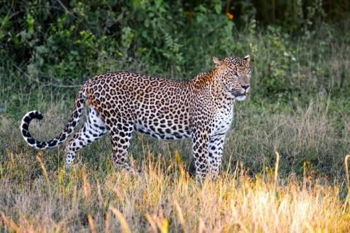 Sri Lanka de Norte a Sur - Parque nacional de Yala - Leopardo