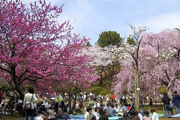 tradicion hanami japon
