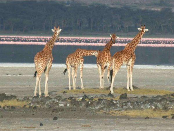 Safari kenia girafas