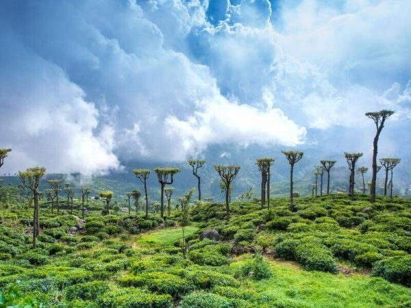 Sri Lanka - Nuwara Eliya - Campos de te
