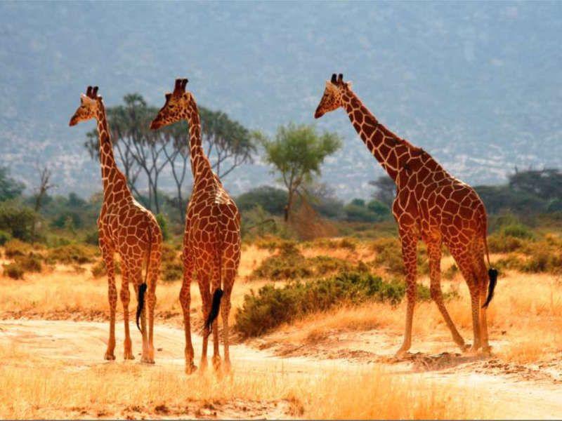 Safari en kenia 3girafas