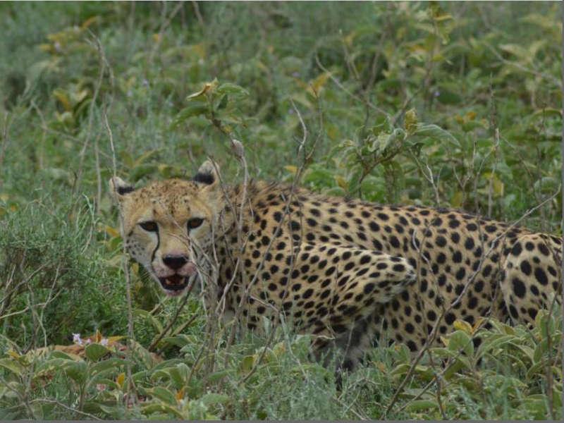 Safari kenia guepardo