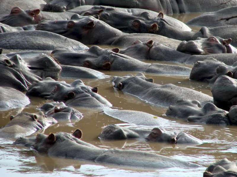 Safari en kenia hipopotamos