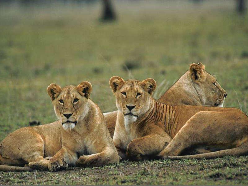 Safari kenia leones
