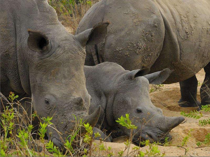 Safari kenia rinocerontes