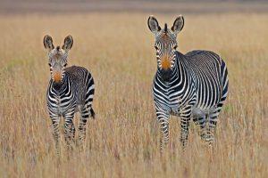 Safaris en Kenia, nuevas experiencias para tu vida.